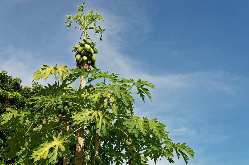 Treetop papayas