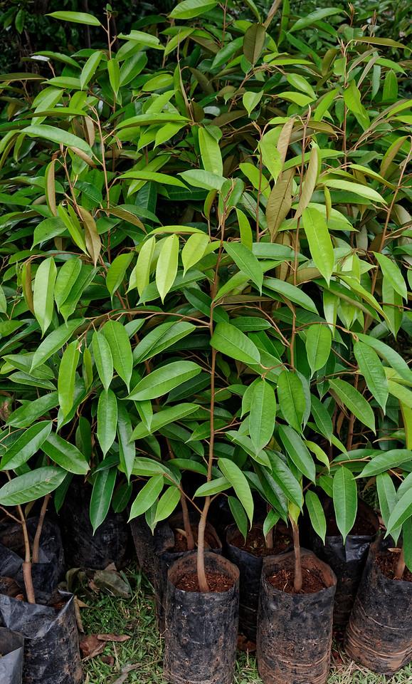 Durian saplings