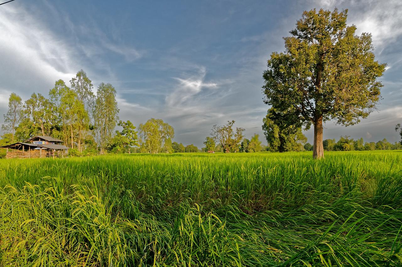 Rice field in Isaan, northeast Thailand