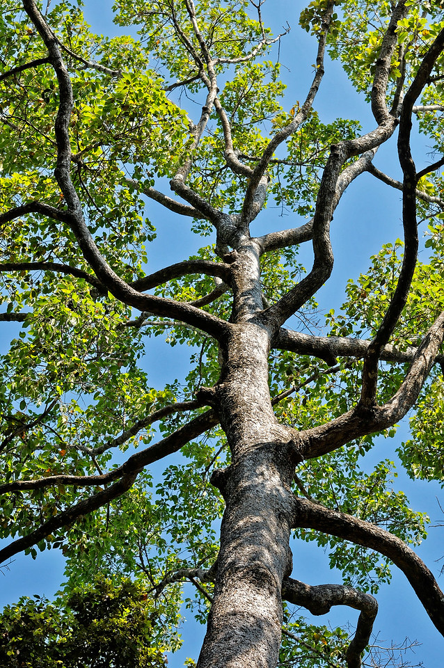Yang-na <i>(Dipterocarpus alatus roxb.)</i>