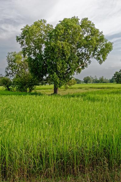 Rice field, Isaan
