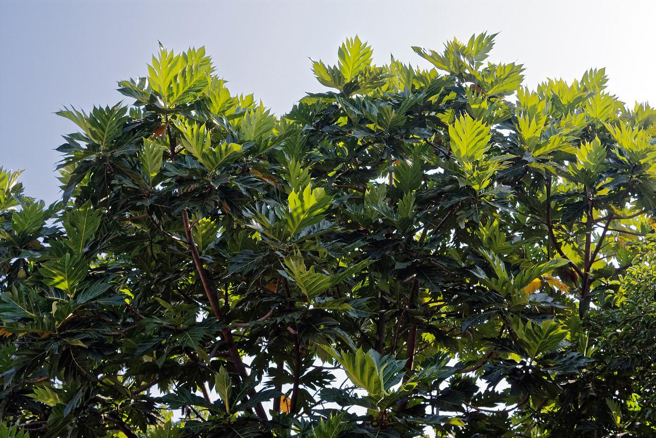 Breadfruit tree, Chiang Mai