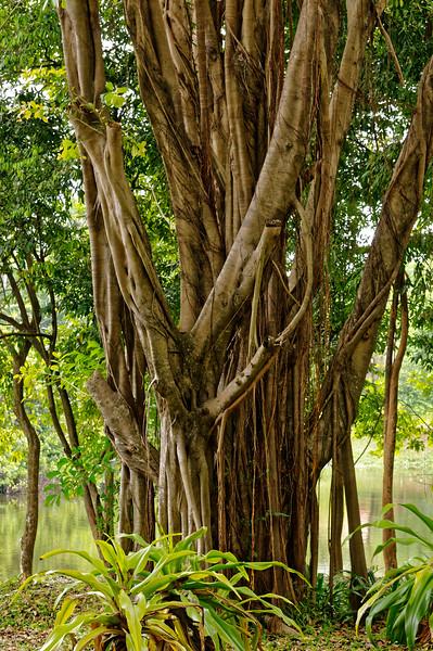Banyan at Somdet Park, Sisaket