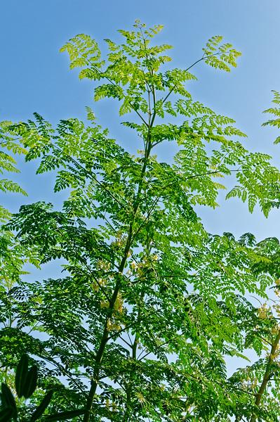 Moringa <i>(Moringa oleifera lam)</i>