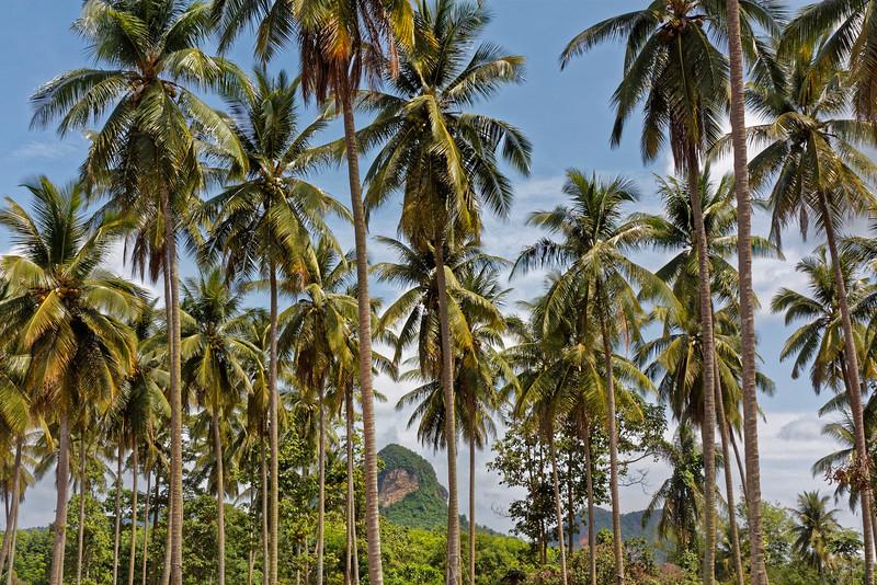 Coconut palms at Ao Nang, southern Thailand