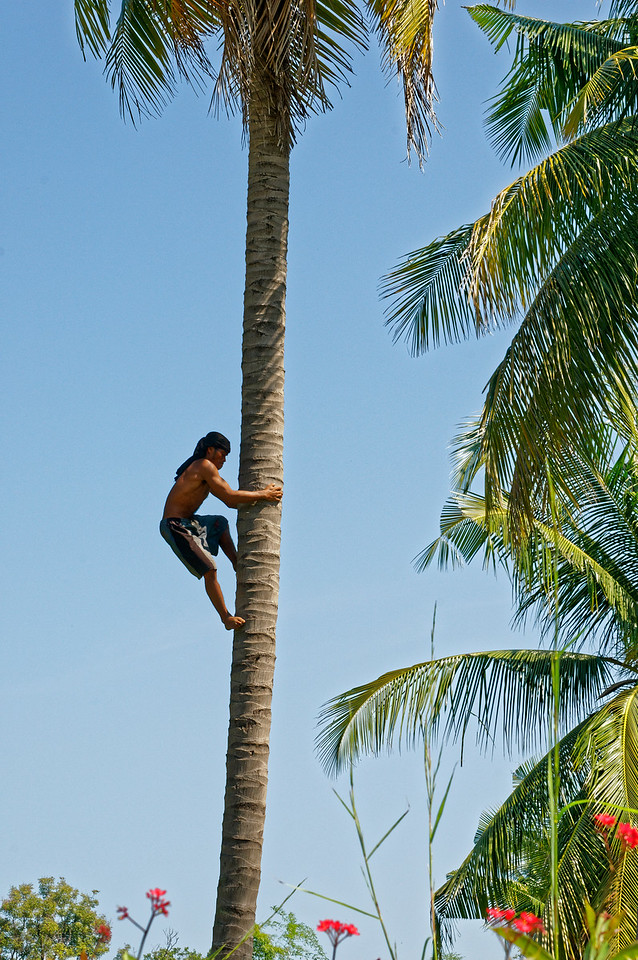 One way to harvest coconuts is seen here and in the following photos. In some parts of the country, monkeys are trained to do this work.