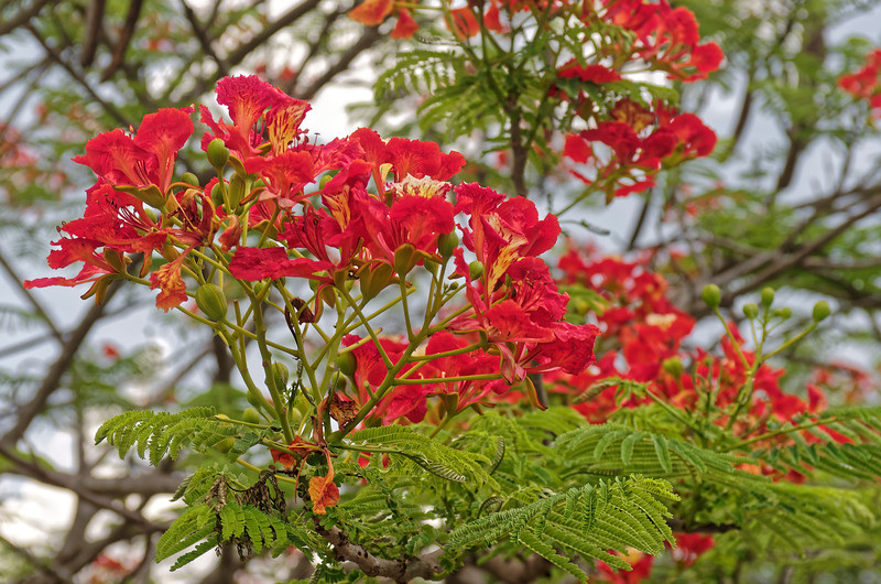 Royal Poinciana at Phra Pai Luang, Sukhothai, north central Thailand