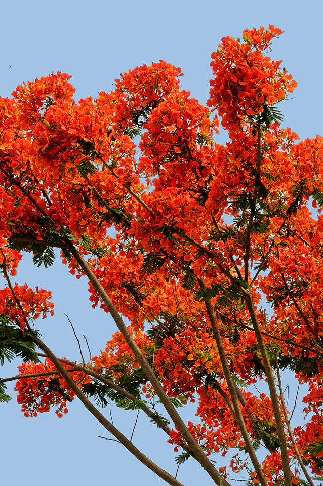 The amazingly dazzling Royal Poinciana <i>(Delonix regia)</i>