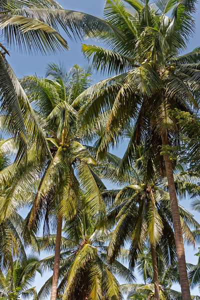 Coconut palms at Ao Nang