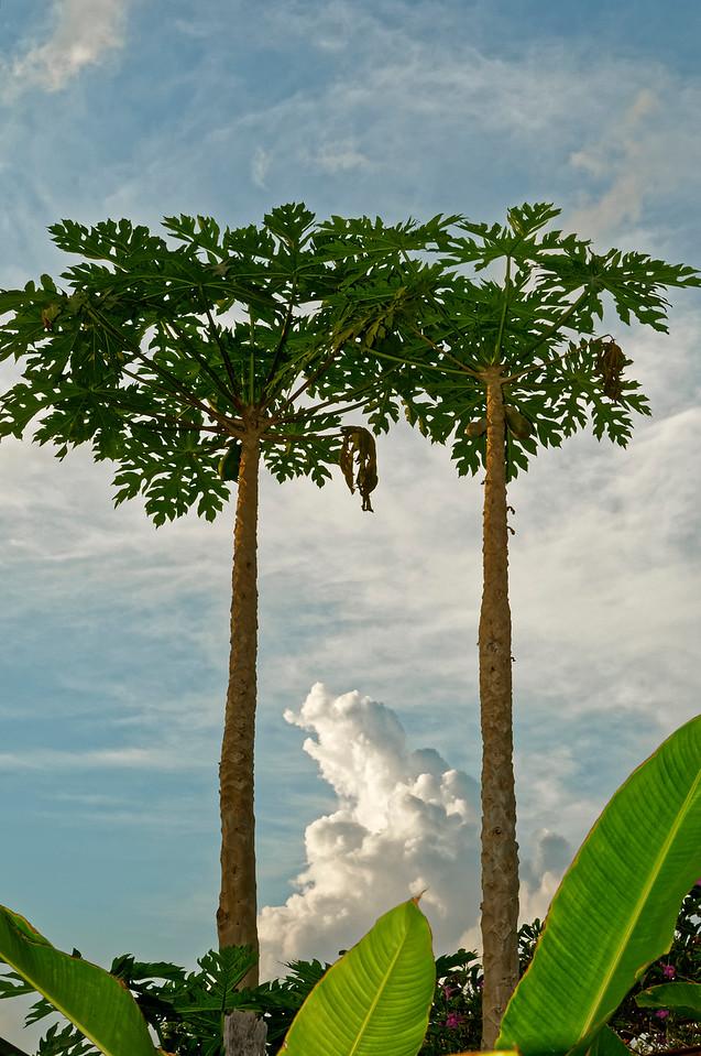 Papaya trees