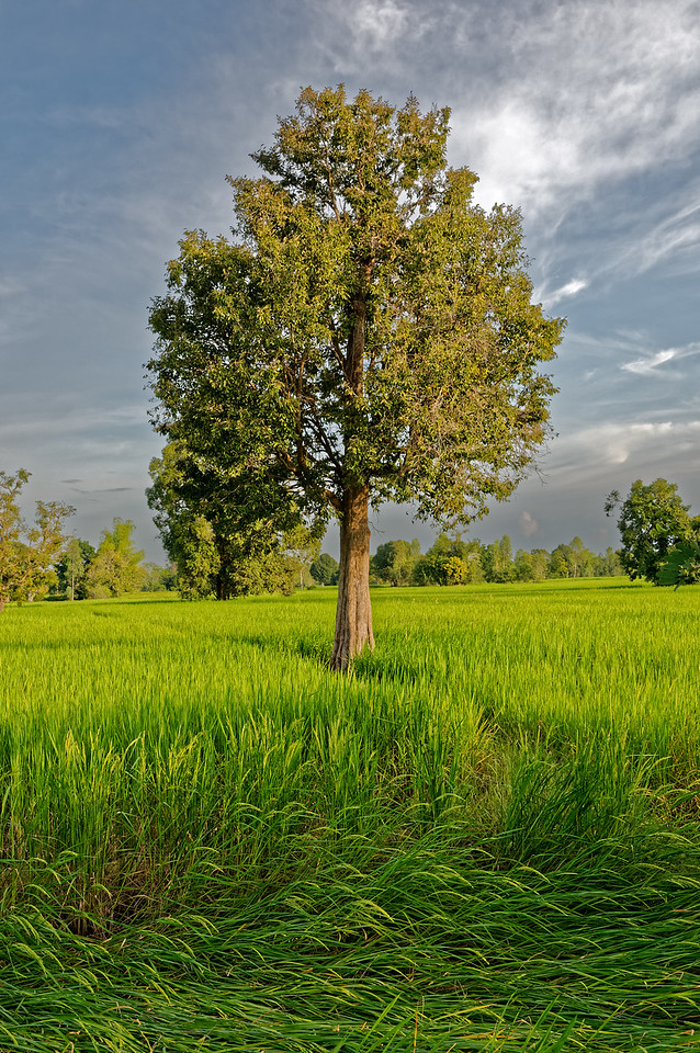 Isaan rice field (northeast Thailand). The radiant, almost day-glo green of the rice seen here is true—maybe even a bit muted.