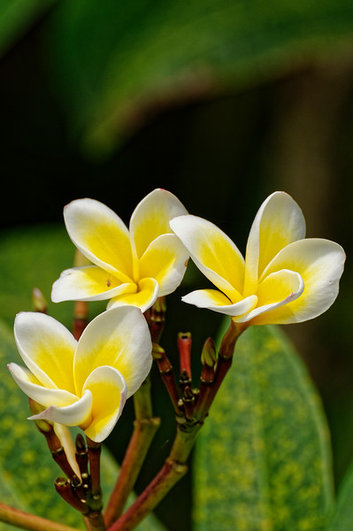 Plumeria or frangipani