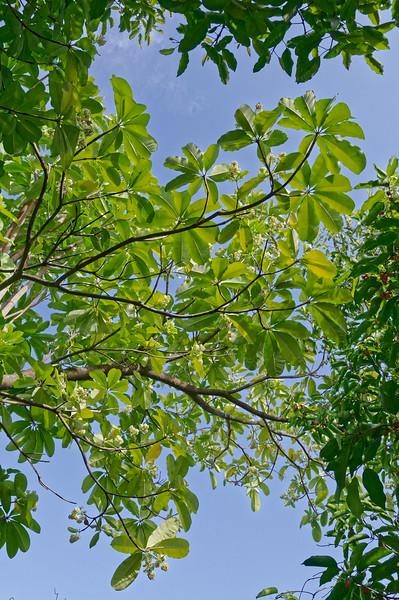 Pongpong tree <i>(Alstonia scholaris)</i>
