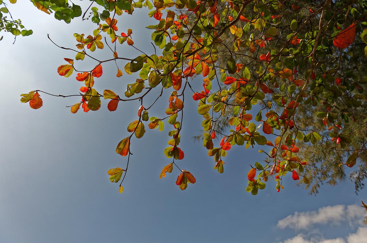 Sea almond or tropical almond <i>(Terminalia catappa)</i>