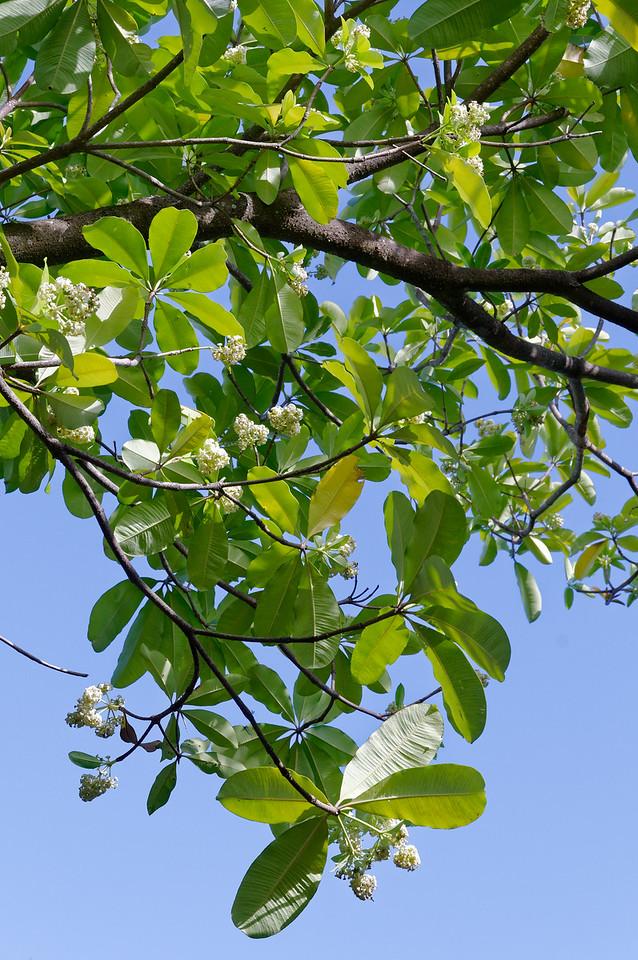Pongpong tree blossoms <i>(Alstonia scholaris)</i>
