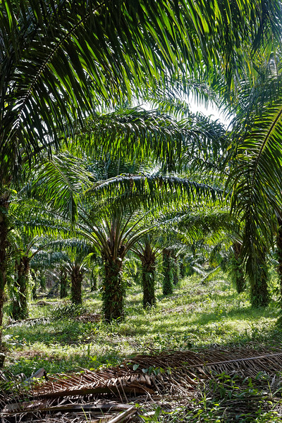 Oil palm plantation at Ao Nang, southern Thailand