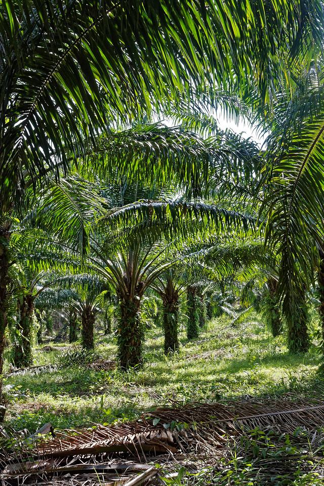 Oil palm plantation at Ao Nang, southern Thailand