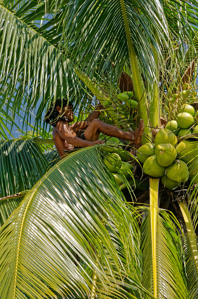 Holding on with his hands, he kicks the coconuts free with a foot.