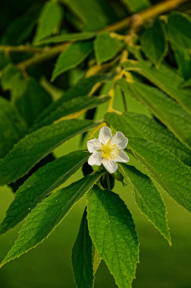 Jamaican cherry