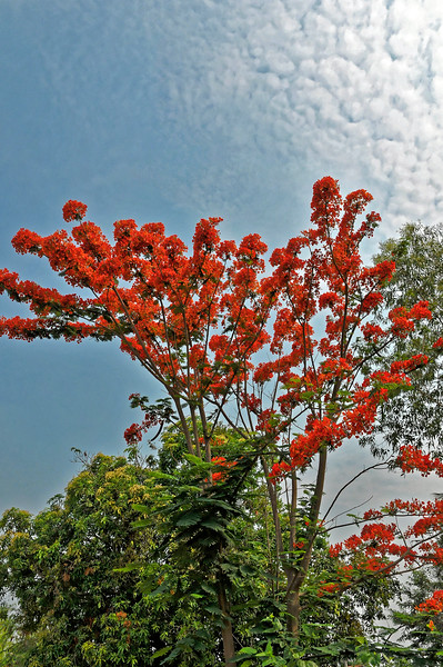 Royal Poinciana <i>(Delonix regia)</i>