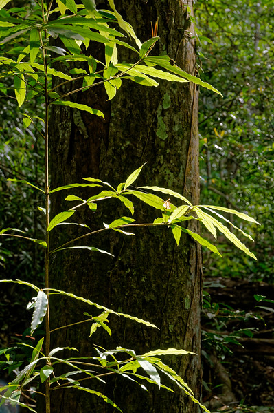 Fragile sapling in Khao Yai National Park