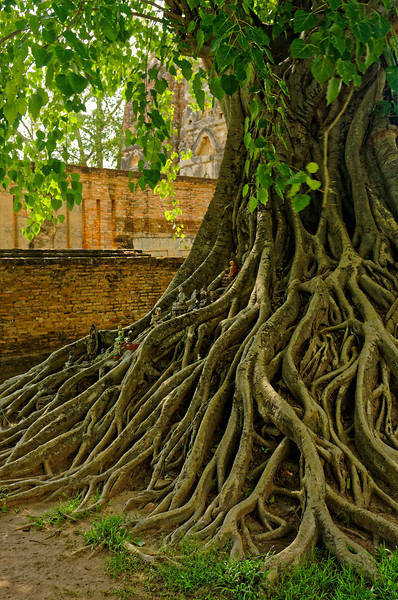 A closer view of the sacred fig tree at Wat Si Sawai, Sukhothai. Offerings, many in the form of miniature Buddhas, have been placed among the roots.