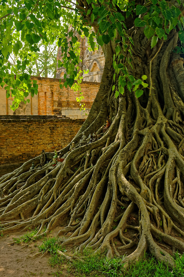 Sacred fig tree at Wat Si Sawai, Sukhothai. Offerings, many in the form of miniature Buddhas, have been placed among the roots.