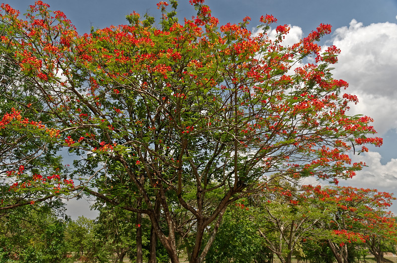Royal Poinciana at Wat Si Chum, Sukhothai, north central Thailand
