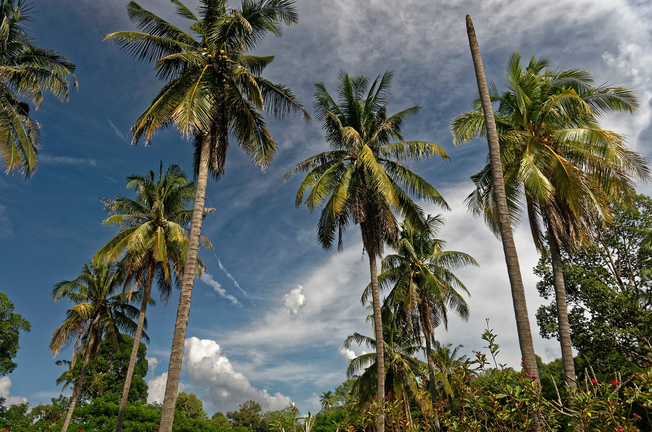 Elegant coconut palms