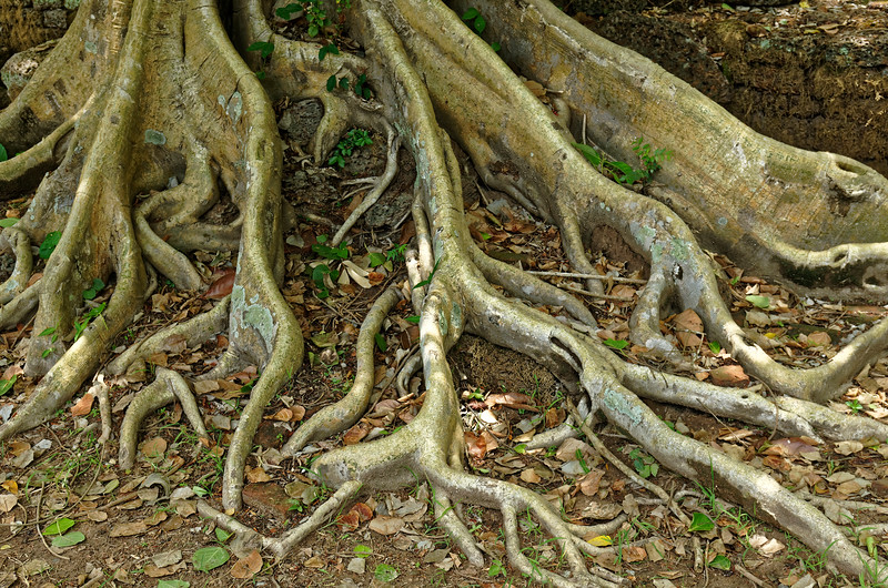 Sacred fig roots at Wat Chedi Chet Thaeo, Si Satchanalai
