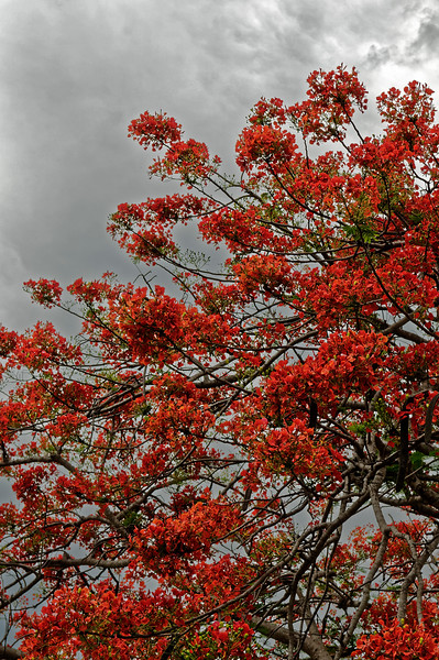 Royal Poinciana <i>(Delonix regia)</i> at Mae Hong Son