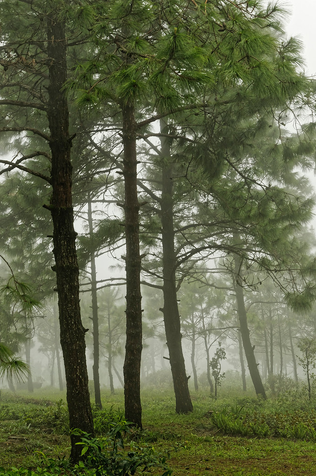 Conifers in the mist atop Phu Rua mountain, Loei Province, northern Isaan