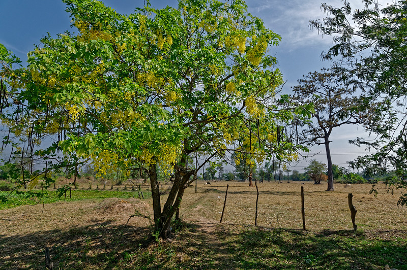 Shower tree in rural Isaan, northeast Thailand