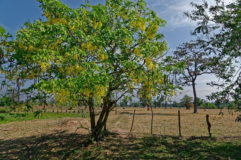 Shower tree in rural Isaan, northeast Thailand