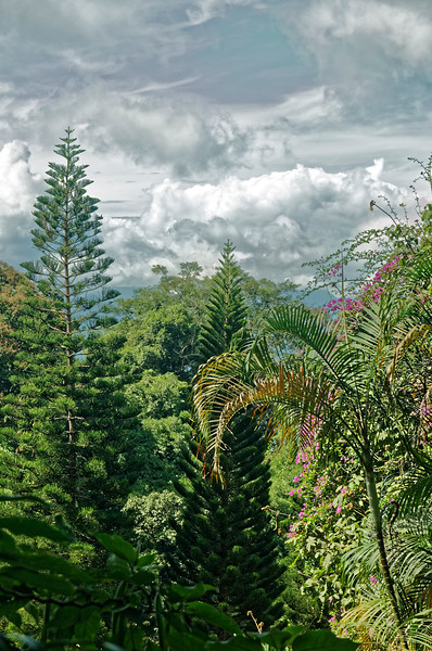 Conifers (and other trees) at Doi Pui, Chiang Mai Province