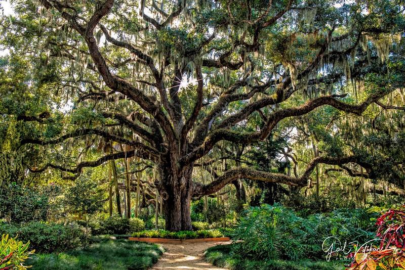 Washington Oaks Tree
