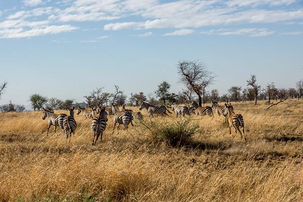 Zebras Free in Africa