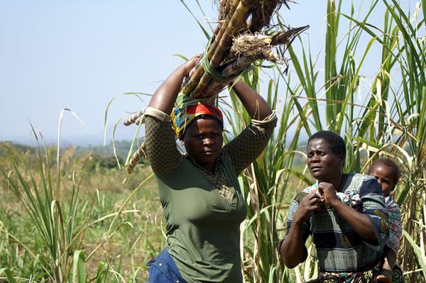 """""""Sugar Cane Harvesting"""""""