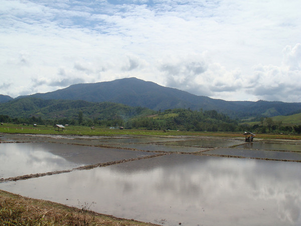 """Rice Field in Central Sulawesi, Indonesia"""