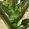 """""""Arborloo Papaya Bearing Fruit"""""""