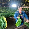 Las Hojas de Tobaco, Cuba