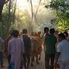 Mattu Pongal (Cow Festival) – January