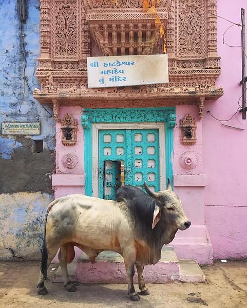 Bull in Bhuj, India