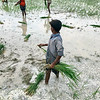 Rice Farming in Monsoon Season