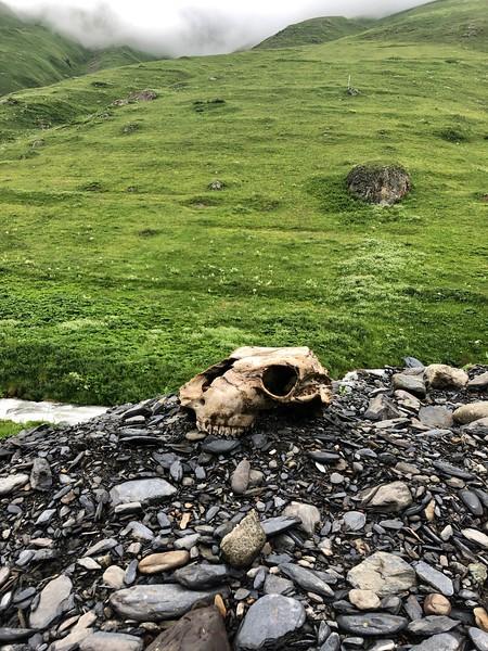 Mountain Mammal Skull