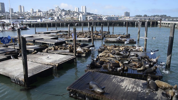 Seals on San Francisco Pier 39