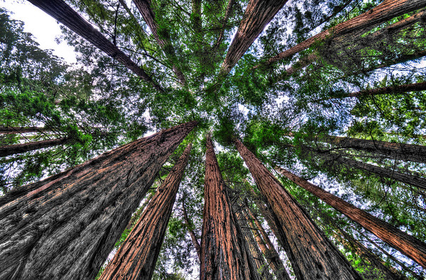 Redwood Canopy in Muir Woods