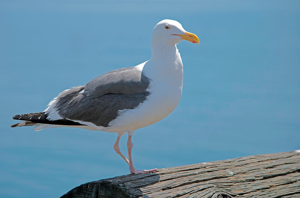Seagull on Santa Barbara Pier