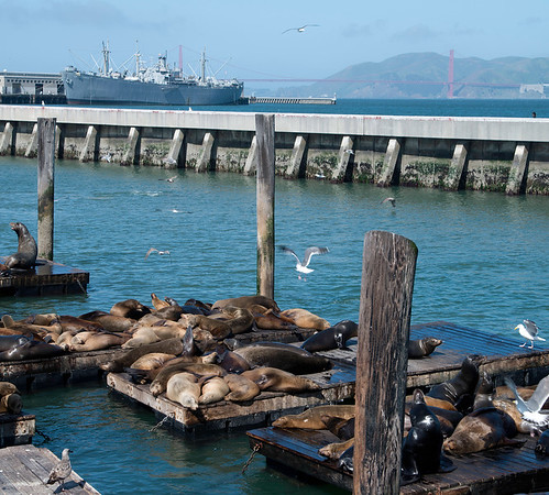 Seals at San Francisco Pier 39 with Golden Gate Bridge in Background
