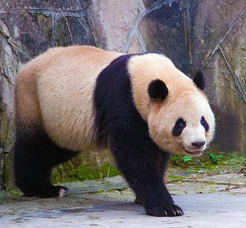 Panda Approaching, Chongjing Zoo